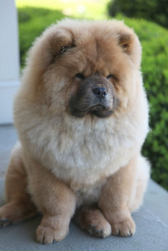 Chow Breed Will Heavily Shed Their Fur In The Seasons Of Spring