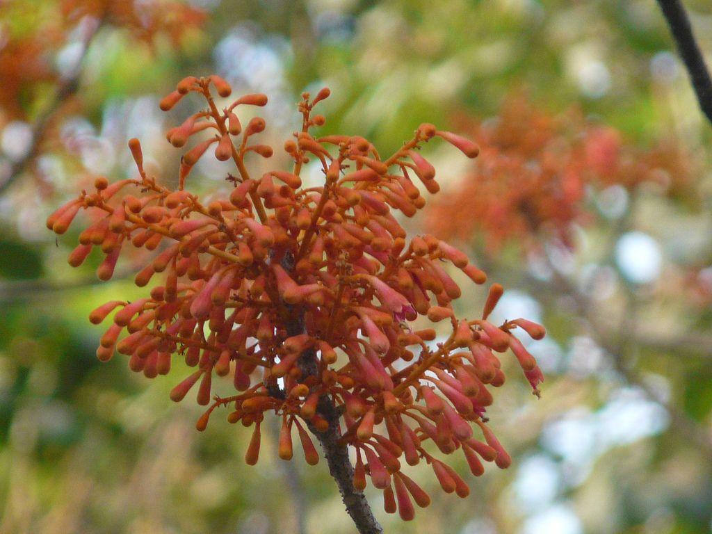 Kaushi (Marathi: कौशी) | Types of flowers, Spring flowers ...