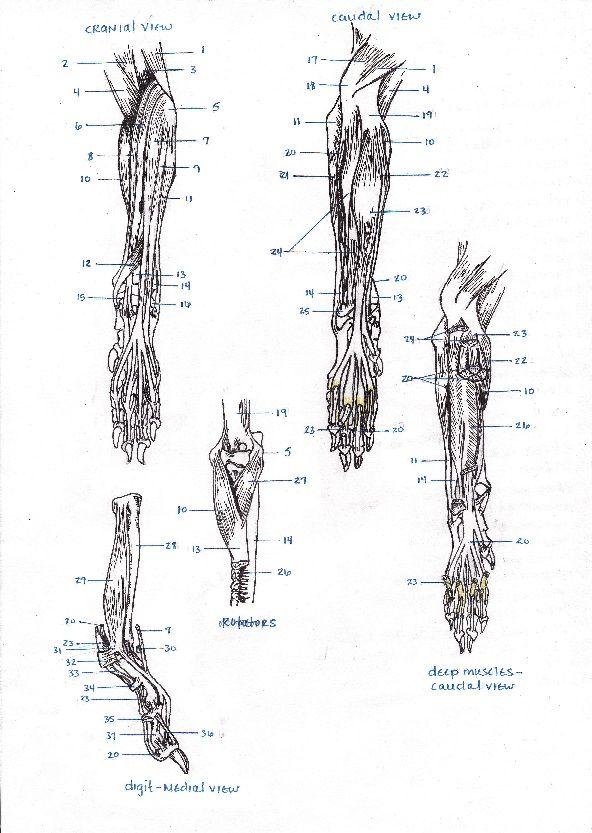 Antebrachium sketch for vet school