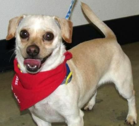 Chiweenie Dog For Adoption In Minneapolis Mn Adn 549054 On