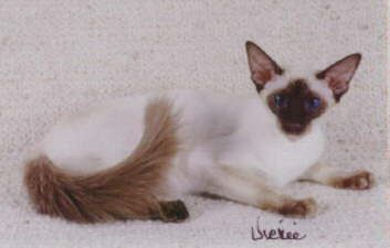 The Balinese Is A Long Slender Cat With Fine Boning And The Same Himalayan Color Pattern As The Siamese The Siamese Cats Blue Point Siamese Cats Balinese Cat