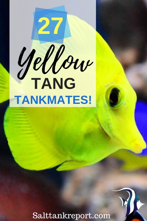 If you are keeping a Yellow Tang in your tank, you may want to know the different tankmates that you can keep with them. Here are 27 tankmates for Yellow tangs. #yellowtang #saltwaterfish #marinelife