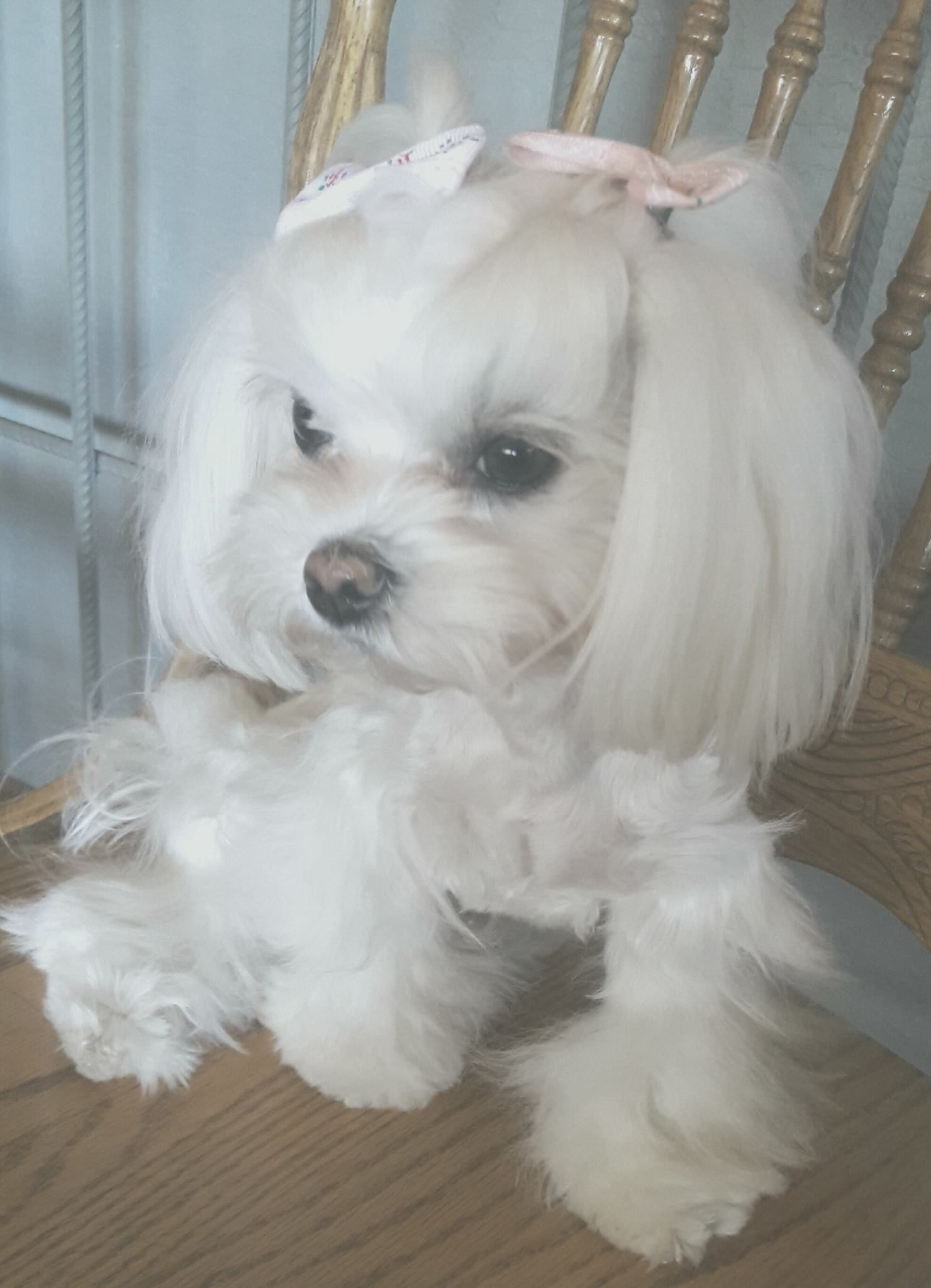 Beautiful Little Girl Maltese Maltese Dogs Maltese Puppy Dogs