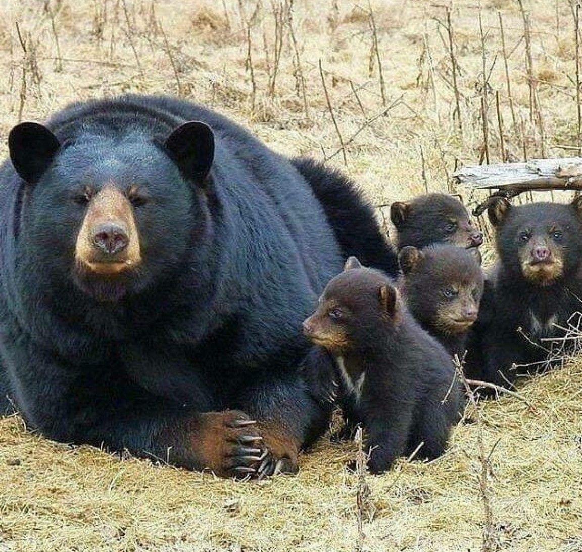 Black Bear Family Black Bear Animals Wild Bear Cubs
