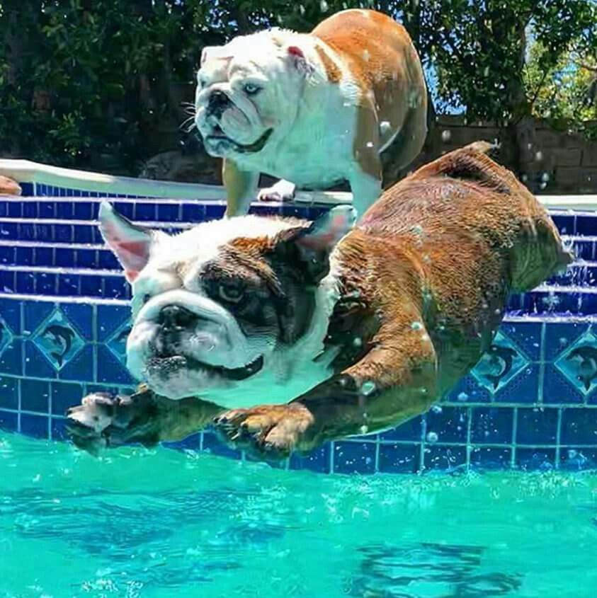 Pin By Ed Glover On Bulldog English Bulldog Puppies Bulldog Breeds Bulldog Puppies