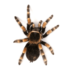 How To Get Rid Of Tarantulas In My House