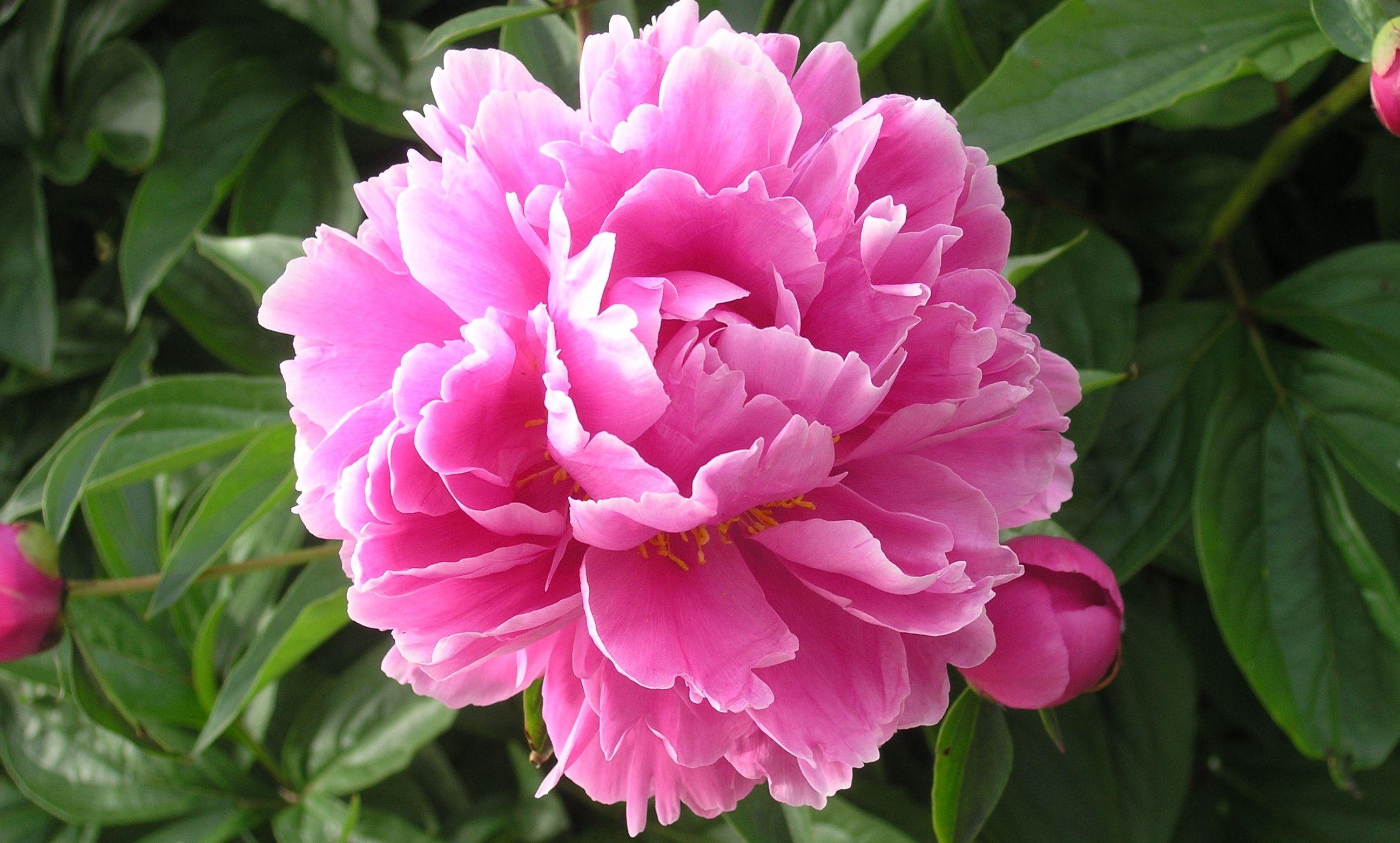 tout savoir sur les pivoines m6 bouquets pinterest pivoine pivoine arbustive et fleurs. Black Bedroom Furniture Sets. Home Design Ideas