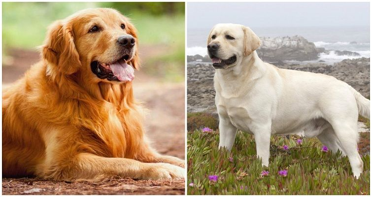 Golden Retriever Vs Labrador Retriever Comparison Pet Blog Dogs Cats Fishes And Small Pets Blog Golden Retriever Golden Retriever Vs Labrador Labrador Retriever