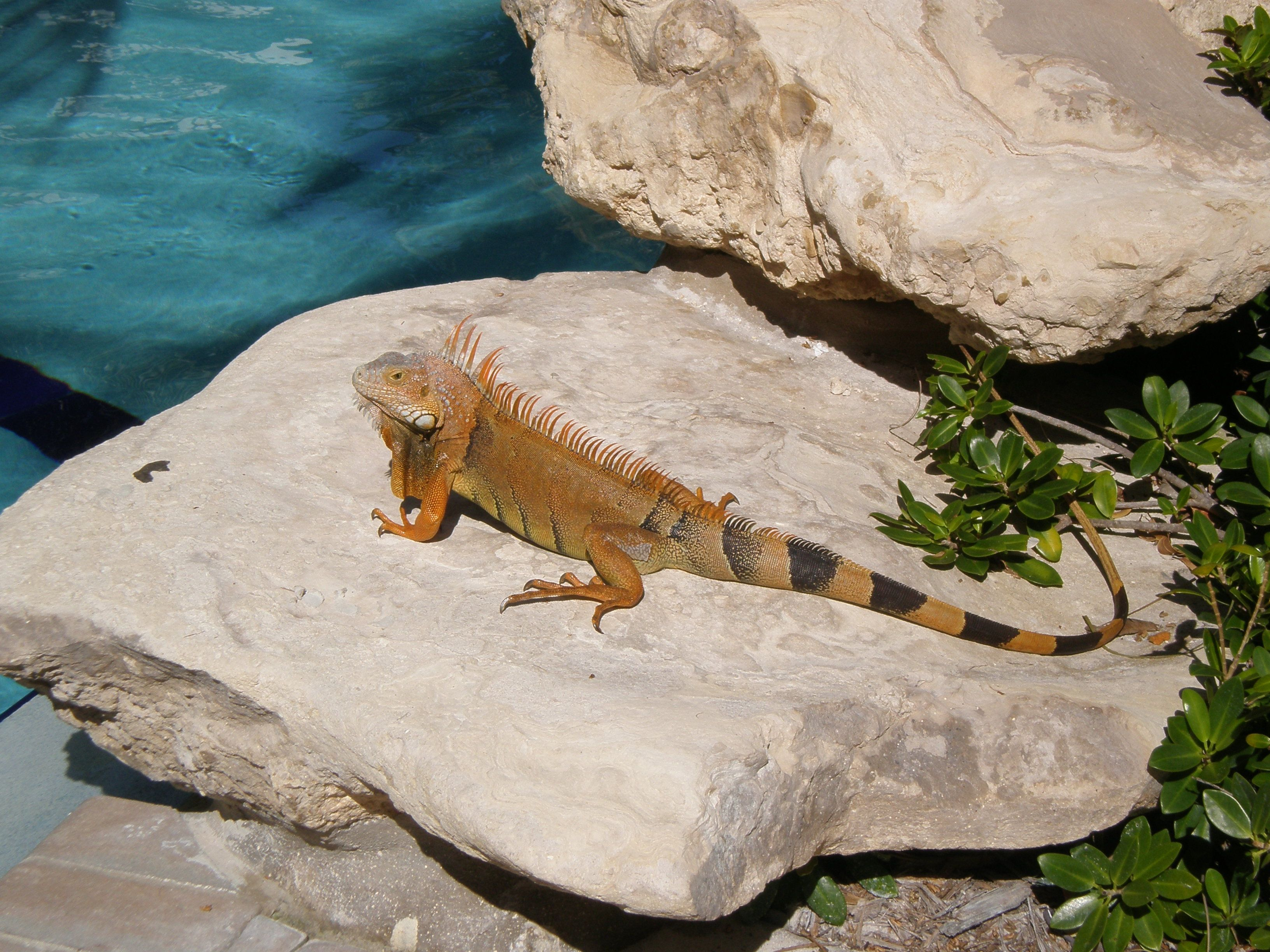 Just your friendly resident iguana at The Inn at Key West!