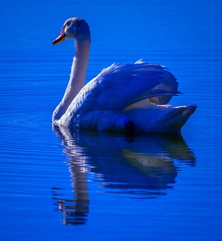 Swans By Moonlight >> Swan Moonlight Moonlight Swan Blue Ethereal Swans Swan