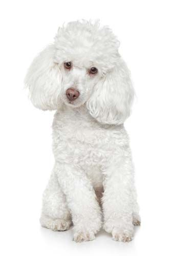 10 Best Dog Breeds For First Time Owners White Toy Poodle Best