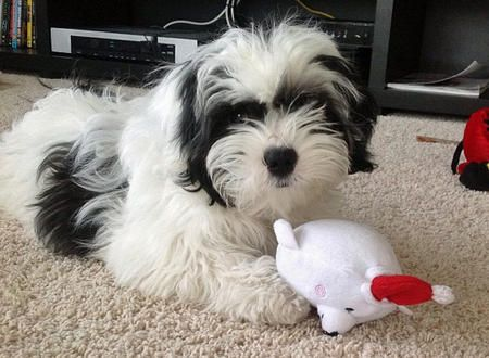Cooper The Shih Tzu Mix Shih Tzu Poodle Mix Shih Tzu Poodle Shih Tzu Dog