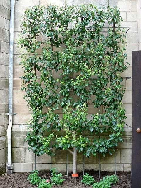 Smuk Untitled | gardening | Garden, Espalier fruit trees, Plants FL-73