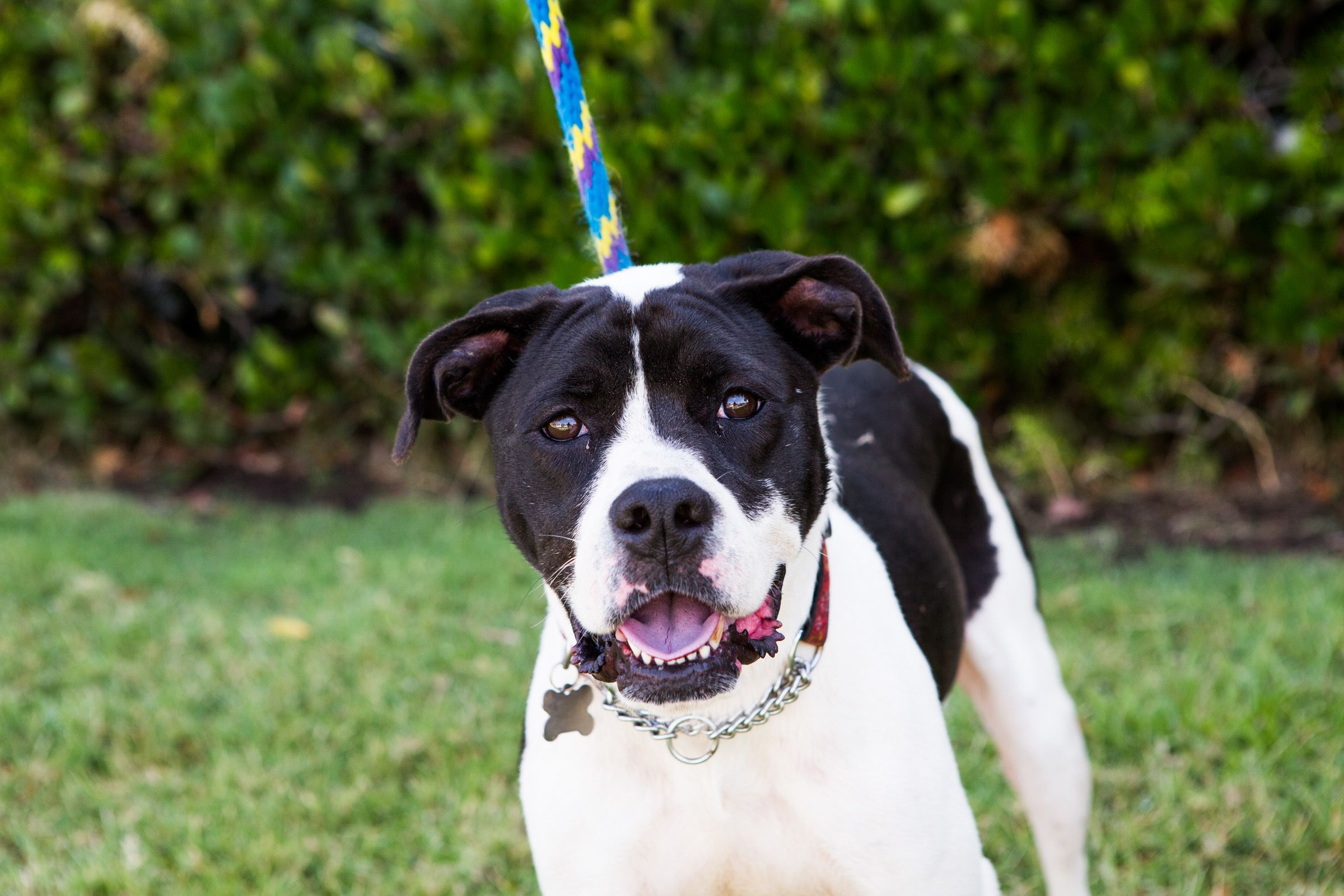 Adopt Pfeifer on Foster dog, San diego, Dogs