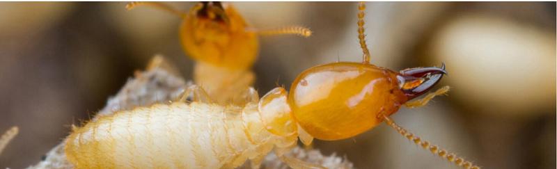 The Basics of Pest Control Termite control, Termite pest
