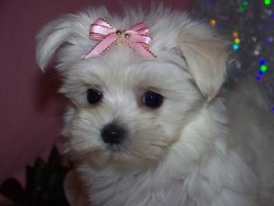 Maltese Puppy With Pink Bow Maltese Puppy Maltese Puppies For
