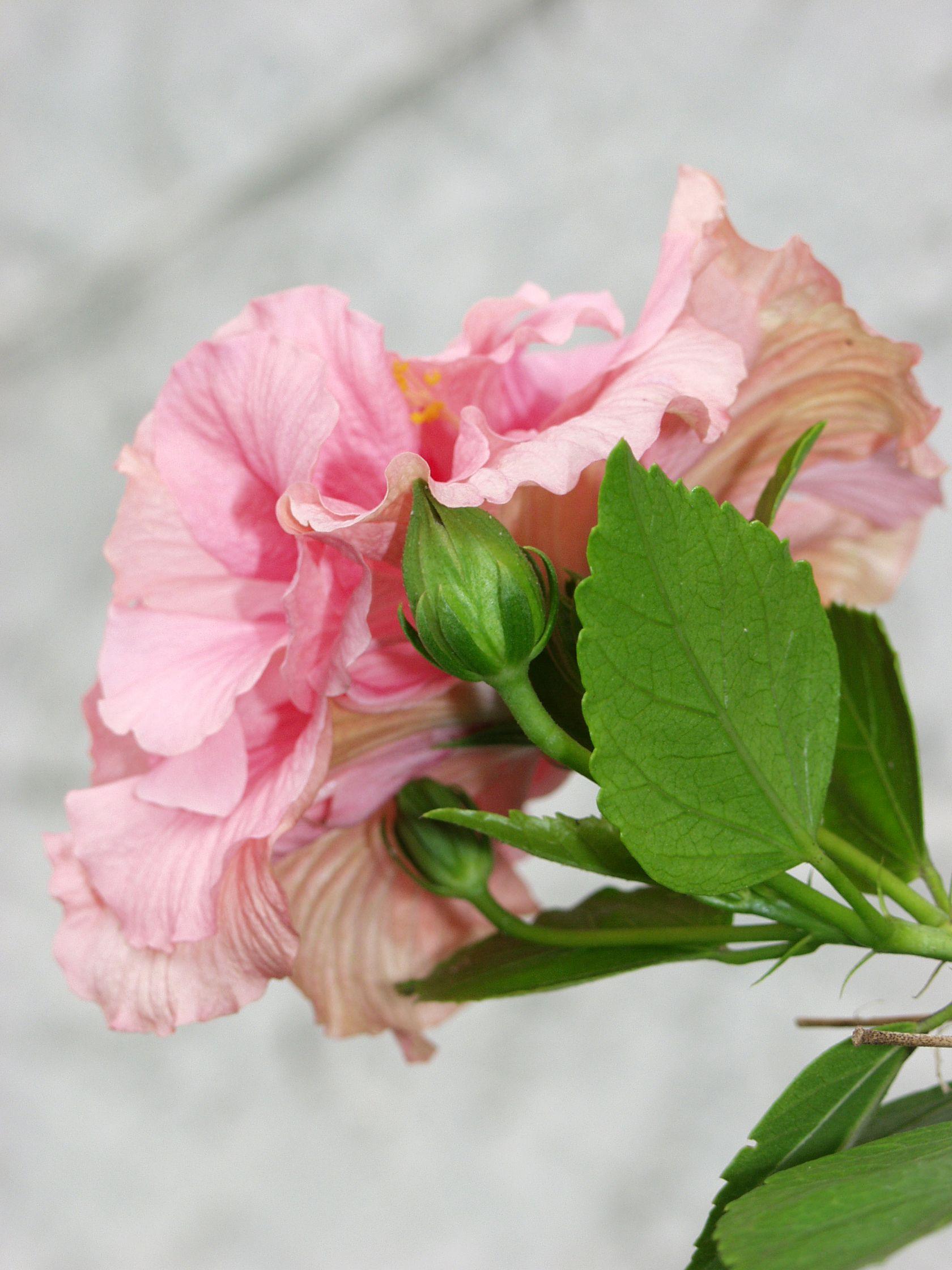 Fleur Rose Ile De La Reunion Ocean Indien Reunion