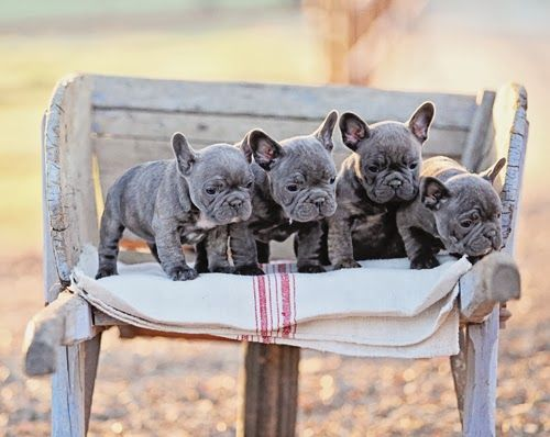 Dreamy Whites Vintage Belgian Sleigh Bells A Vintage Gray French Trunk Bleu The French Bulldog And A Wi French Bulldog Puppies Bulldog Puppies Cute Animals