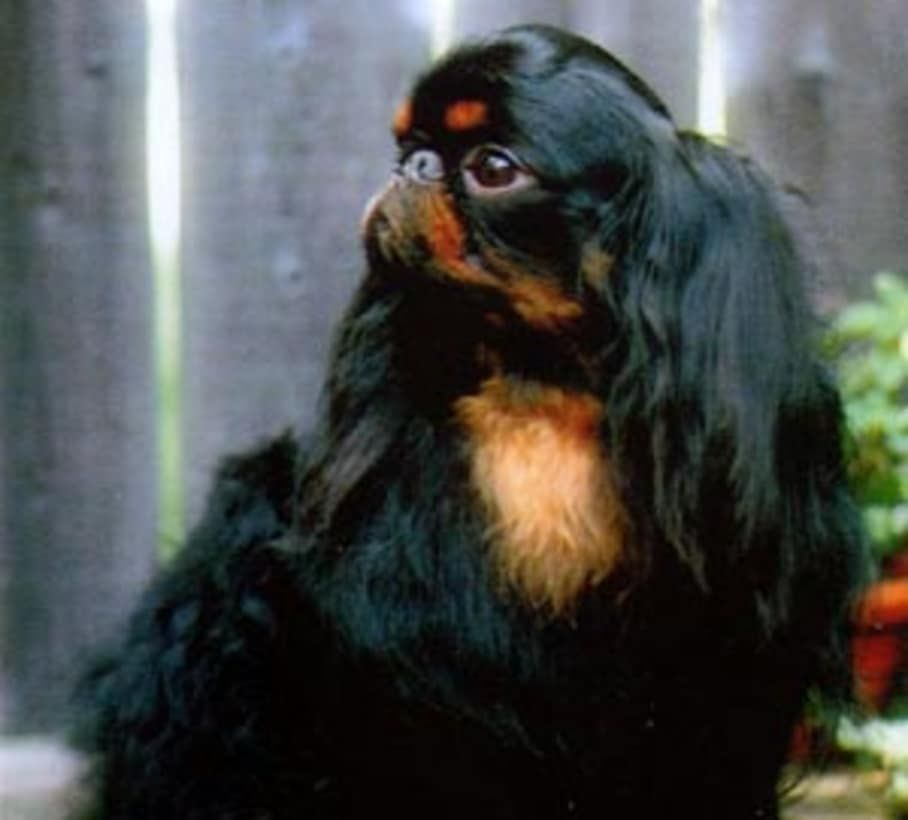 English toy spaniel image by lauri oberlander on dogs dogs