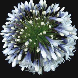 Agapanthus Queen Mum Tm Pbr Garden Express Garden Express Agapanthus Flower Garden Plants