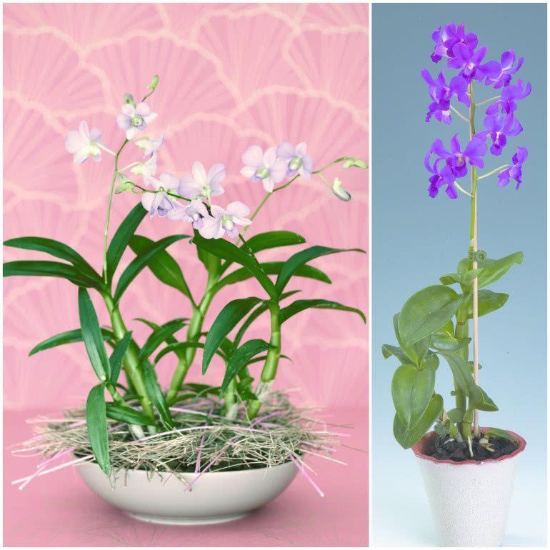 Miltoniopsis Orchid Care Orchidaceae Orchids
