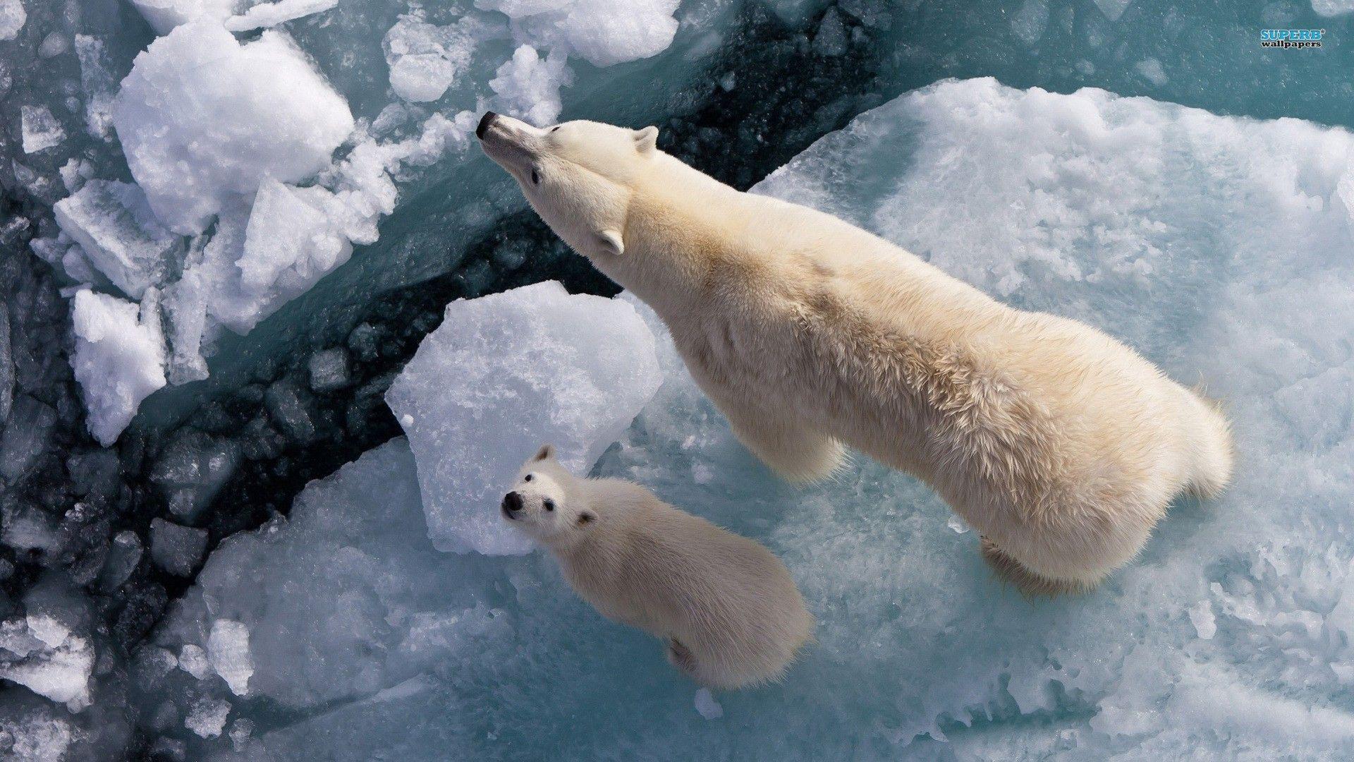 polar bears from above