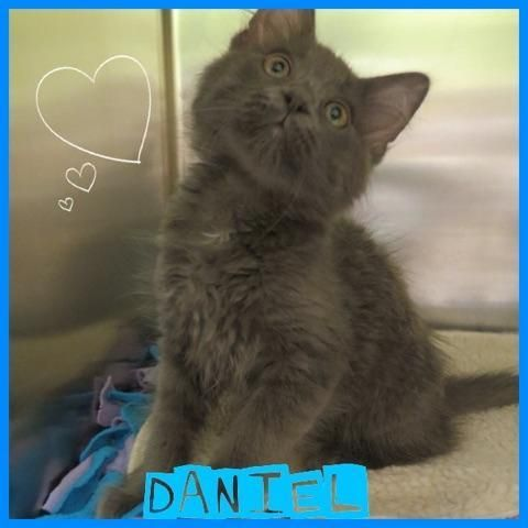 Adopt Daniel On Adoption Grey Cats Cats