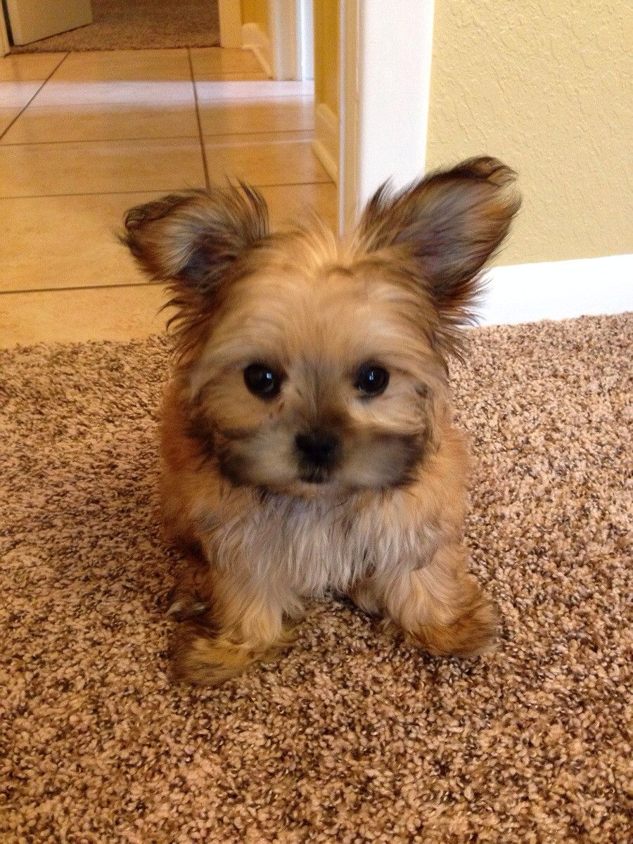 Maltese Yorkie Shih Tzu Cute Dogs Cuddly Animals Kittens And Puppies