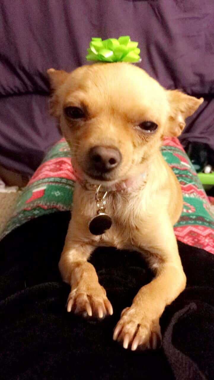 55 facts about chihuahuas that you may not know