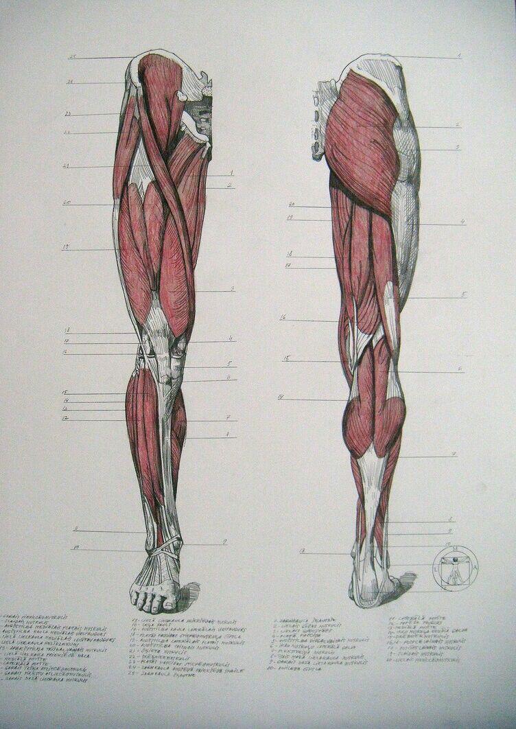 anatomy | ศิลปะ | Pinterest | Anatomía, Anatomía humana y Figuras ...