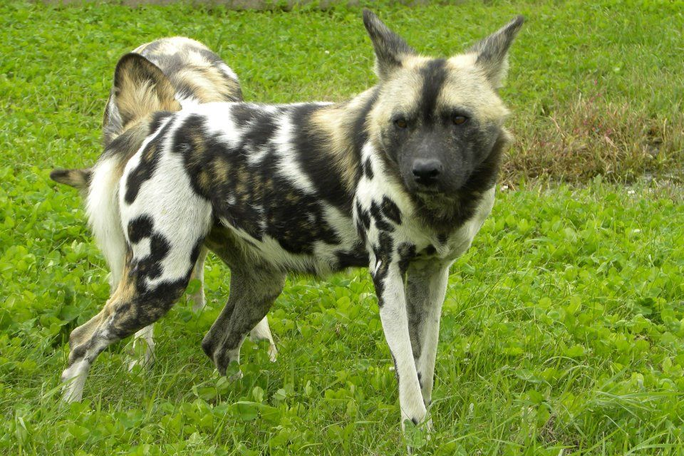 african wild dog wolf mix | African Wild Dog Images - Dog ...