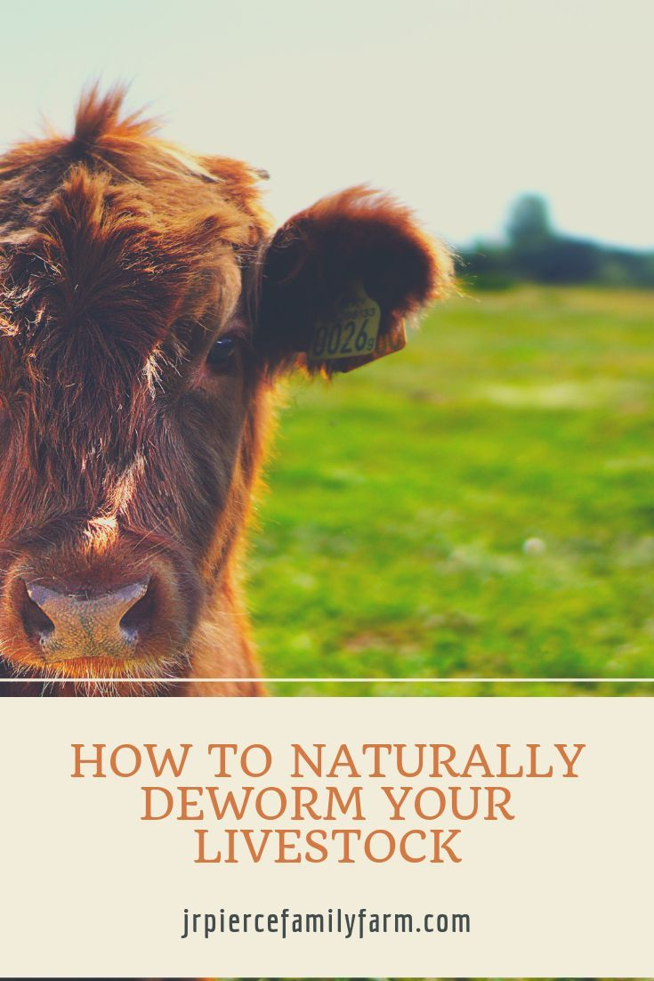 How to deworm chickens cattle and sheep livestock