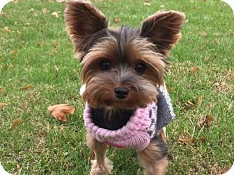 Pastel A Yorkie Yorkshire Terrier For Adoption In Sinking Spring