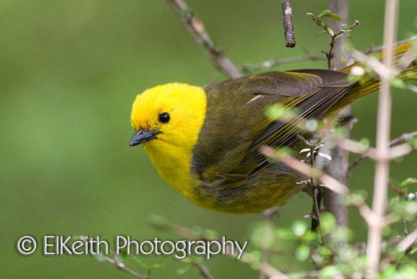 nz mohua aka yellowhead native endangered bird fat birds