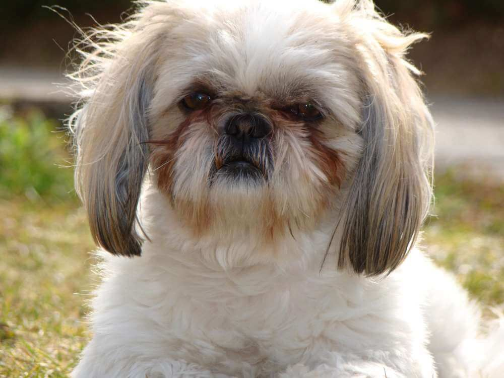 Everything You Need To Know To Adopt A Shih Tzu Eye Infection