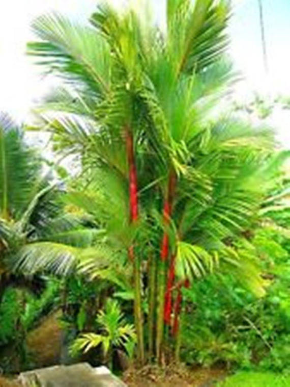 Also known as the red palm, rajah palm, and Malay: pinang rajah ...