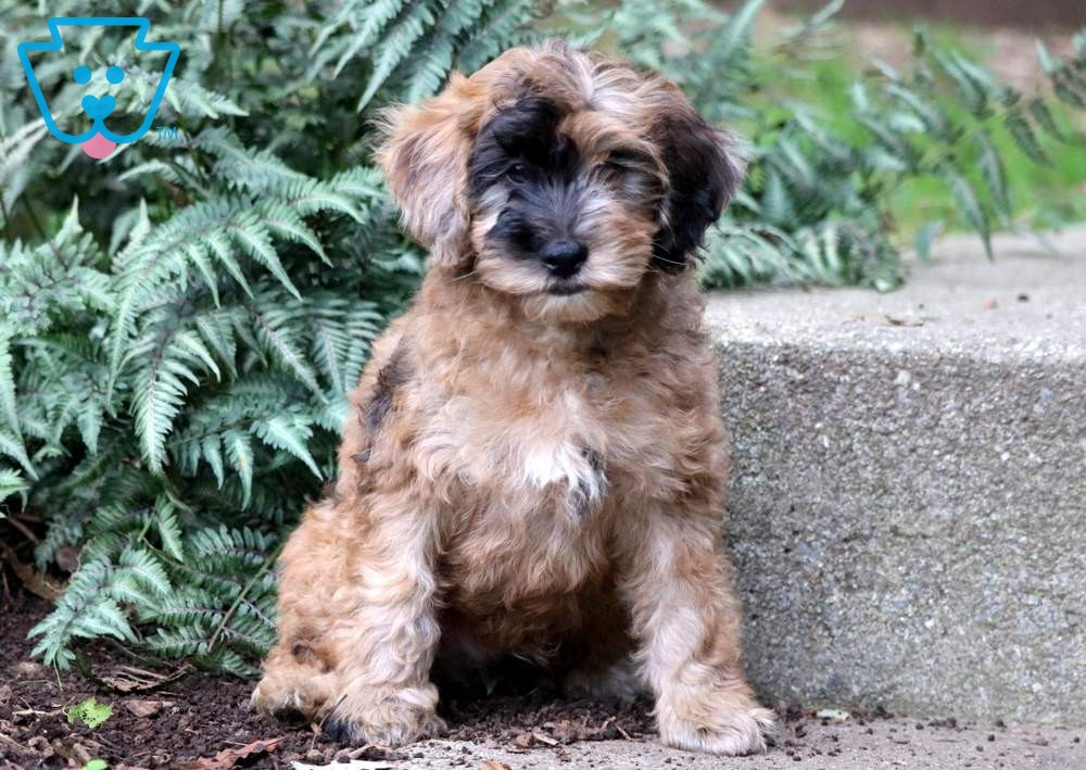 Maddox Puppy Finder Buy A Dog Poodle Mix Puppies