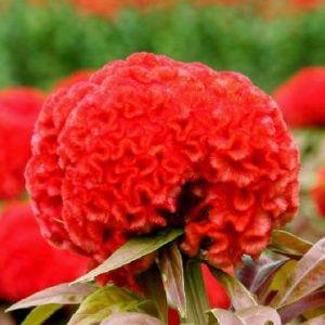 Celosia Cristata Kurume Orange Red Flower Seeds Celosia Flower Flowers