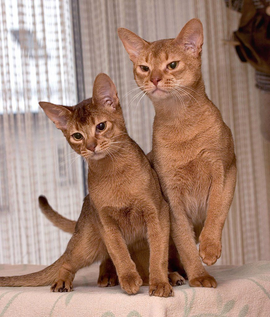 The Abyssinian Cat is thought to be one of the oldest breeds of ...