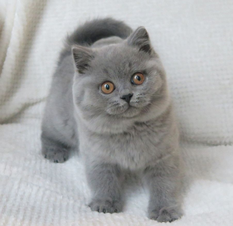 Breeder Of Pedigree British Shorthair Cats Kittens I M Such A Beautiful Blue Girl British Shorthair Cats British Shorthair Cats