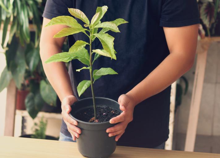 Comment Faire Pousser Un Avocat Avocat Planter Comment Faire Et