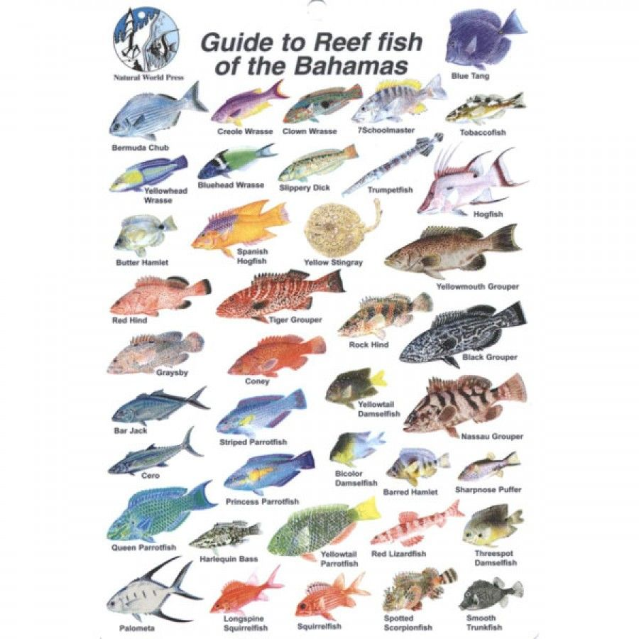 Fish identification fish id card bahamas charts of all for Fishing nassau bahamas