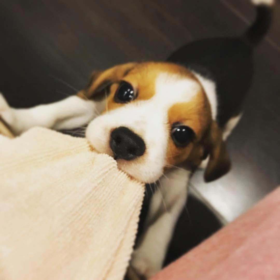 Visit Our Site For More Relevant Information On Beagles It Is