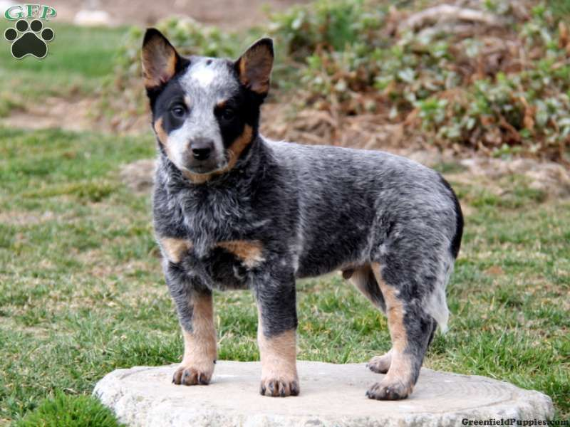 Blue Heeler Puppies Blue Heeler Australian Cattle Dog