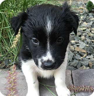 Border Collie Mix Puppy For Adoption In Fort Collins Colorado Lily Bentley S Puppy Adoption Border Collie Mix Puppies Border Collie Mix