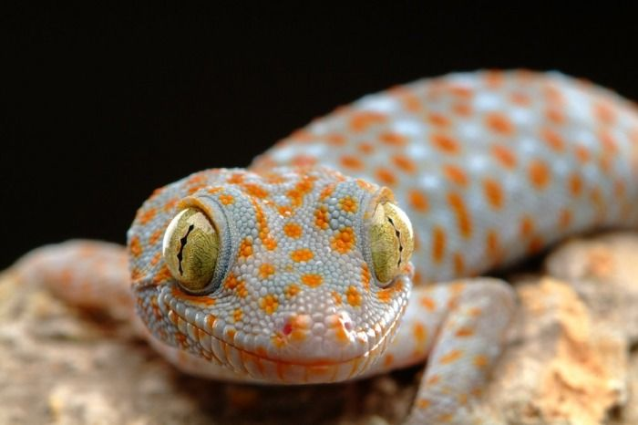 Types Of Reptiles Gecko Reptiles Reptiles And Amphibians