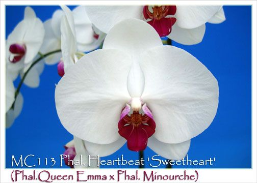 Images of Phal. Heartbeat 'Sweetheart' AM/AOS (Phal.Queen Emma x Phal. Minourche)
