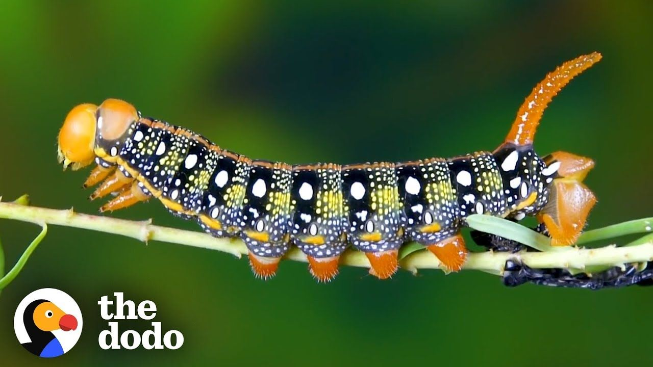 Watch This Caterpillar Turn Into A HawkMoth The Dodo