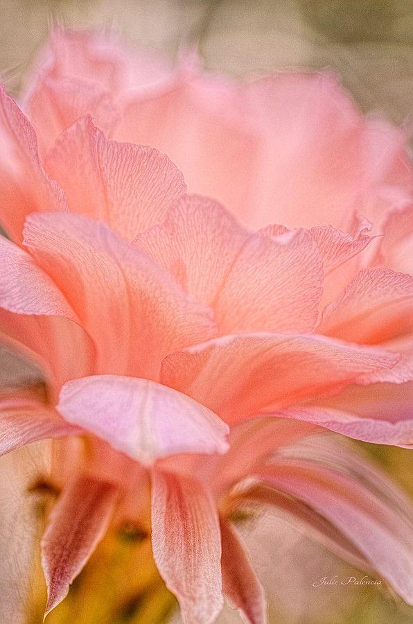 ~~Echinopsis Los Angeles ~ pink desert bloom by Julie Palencia~~