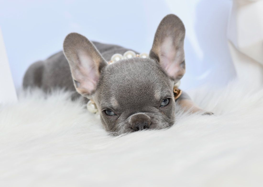 Akc French Bulldog Puppies For Sale In Utah Lilac And Tan